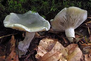 Clitocybe odora - Anis-tragthat